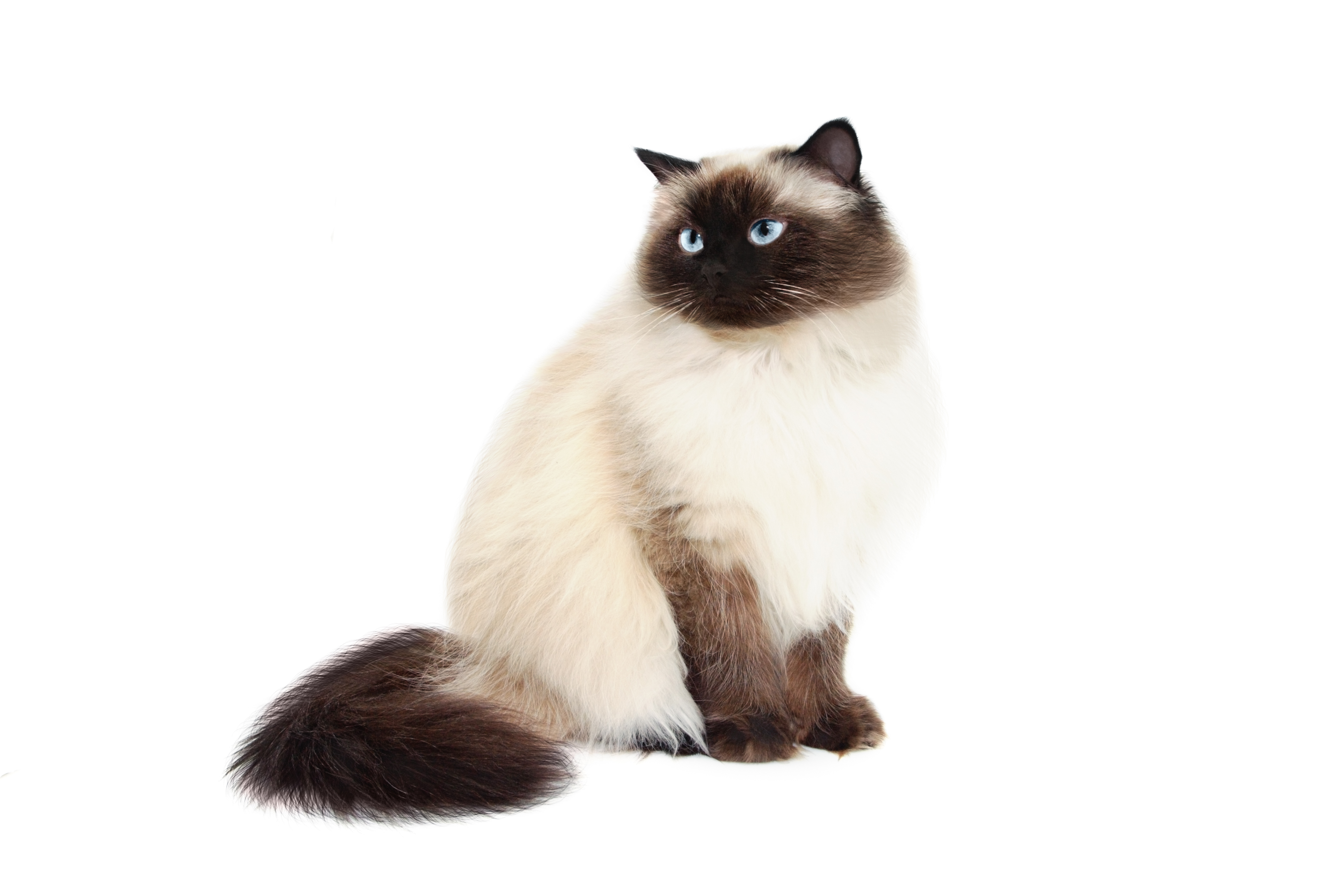 Image result for Himalayan Cats