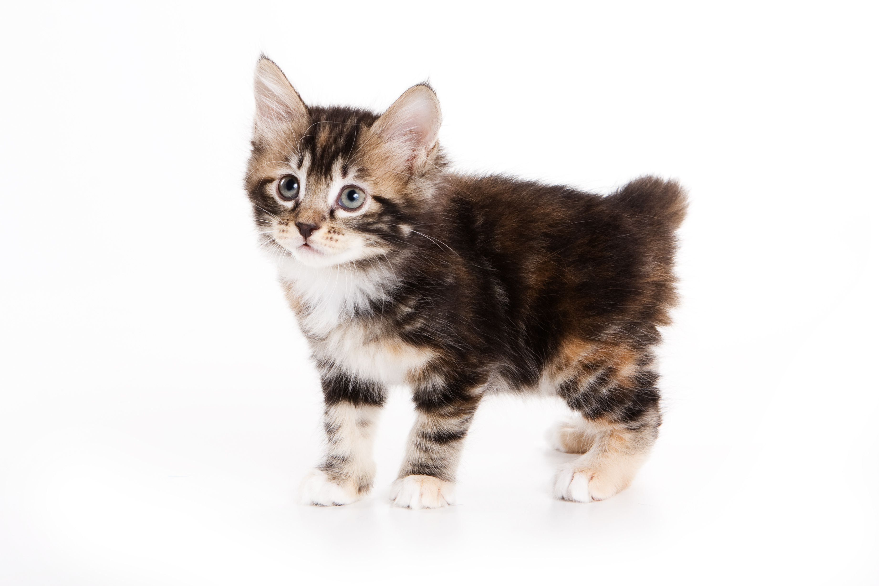 Japanese Bobtail Cat Breed Information, Traits ...